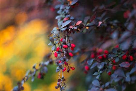 Red barberries on the bush in the garden. Branch with fresh ripe berries natural autumn background. Berberis Vulgaris or thunbergii, Berberis Coronita. Colorful autumn season background.