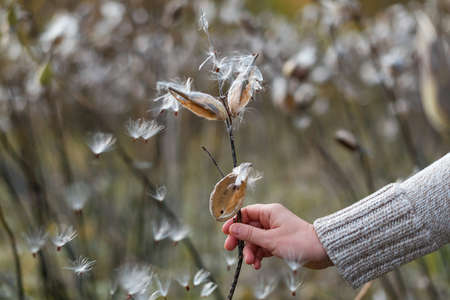Common Milkweed, Asclepias syriaca in female hand. Woman holding butterfly flower or silkweed follicle with flying dry seeds in early autumn. Seasonal fall silence mood. Selective focus. Archivio Fotografico
