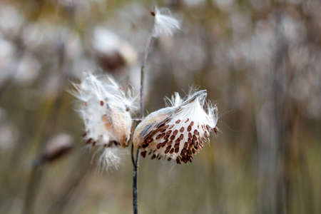 Common Milkweed, Asclepias syriaca. Butterfly flower or silkweed follicle with flying dry seeds in early autumn. Seasonal fall silence mood. Selective focus.