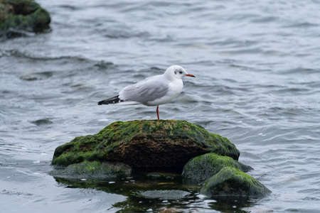 Lonely seagull standing on a rock in the sea. Cold winter sea.