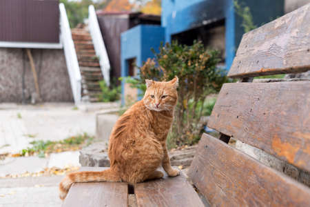 Red stray cat sitting on wooden bench in a city park. Animal protection and adoption concept. 版權商用圖片