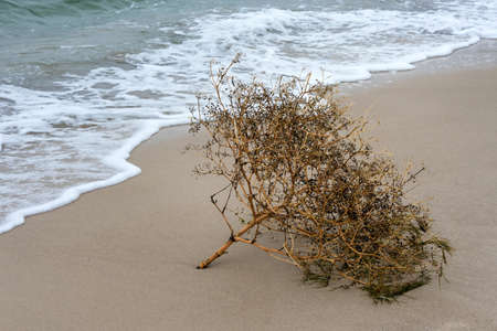 Dry plant by the sea. Dead sea flora, plant which lies on the sand of the sea coast near the water 版權商用圖片