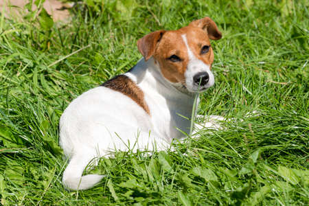 Jack Russell terrier dog sitting on the grass field in the garden Imagens