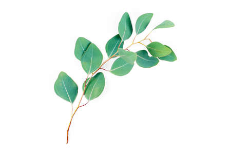 Eucalyptus branch isolated on white background. Eucalyptus leaves, flat lay, top view with copyspace for text. Minimal botanical design. Banque d'images