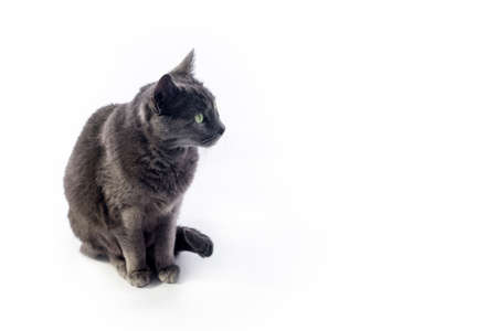 Russian blue cat isolated on white looking right with copy space for text