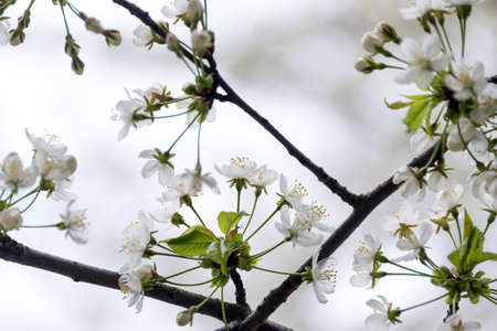 Cherry blossom in spring with soft focus, sakura season, blooming brunch, nature spring background