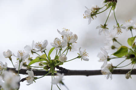 Cherry blossom in spring with soft focus, sakura season, blooming brunch, nature spring background.