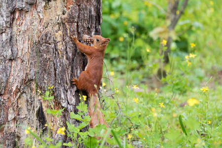 Curious red squirrel peeking behind the tree trunk holding pine cone in mouth. Imagens
