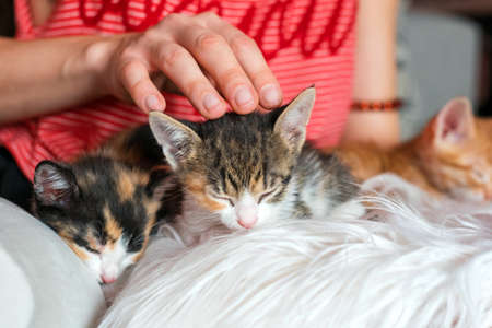 Cute kittens in female hands. Pet owner and her pets, lovely animals. Baby cat relaxing, cozy sleep and nap time with pets.