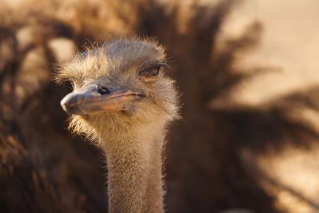 squint: portrait of a proud Ostrich squint