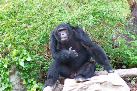 chimpances: Chimpancé en changmai naight safari