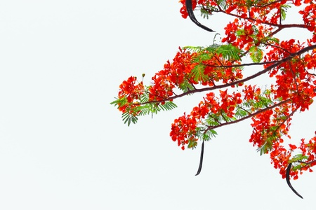 flamboyant: Flam-boyant Stockfoto