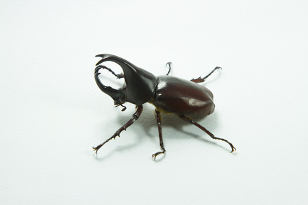 hexapod: Thai rhinoceros beetle Stock Photo