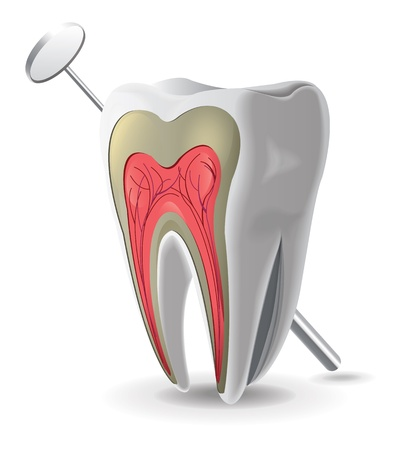 dental pulp: Structure Of Tooth