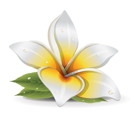 white lilly: Lily