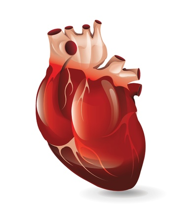 schlauch herz: Realistische Herz Illustration