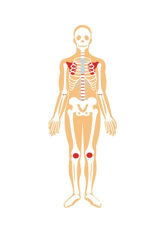 male model torso: Skeleton. Vector flat illustration
