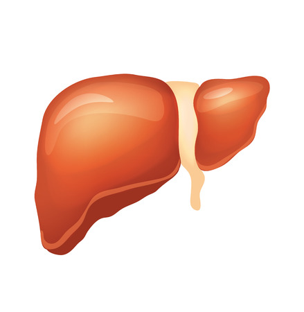 cystic duct: Vector liver illustration Illustration