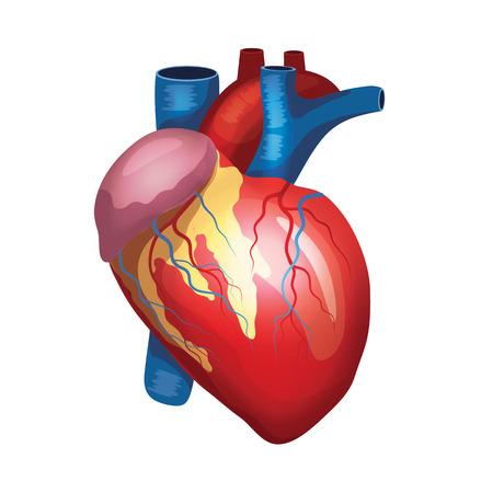 ventricle: Vector coraz�n ilustraci�n