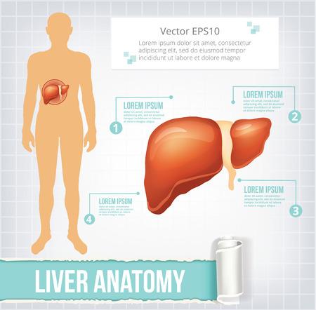 higado humano: Vector infografía hígado ilustración de la bandera