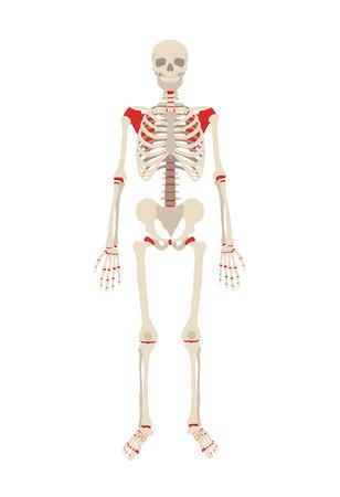 x stand: Vector esqueleto ilustraci�n plana Vectores