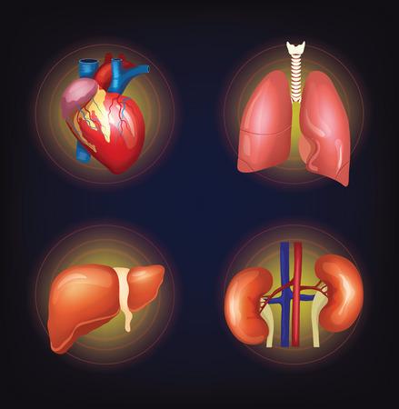 Vector internal organ set
