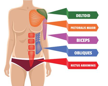 cuerpo femenino: Vector m�sculos anatom�a ilustraci�n