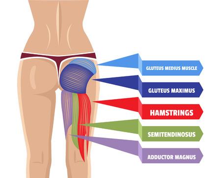 anatomy leg: Vector Gluteus Maximus Illustration