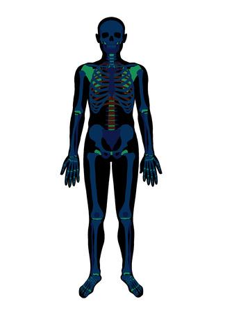 x ray skeleton: X ray skeleton. Vector flat illustration