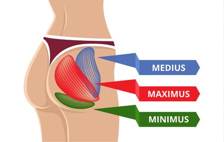 anatomy leg: Vector Flat Gluteus Maximus Illustration