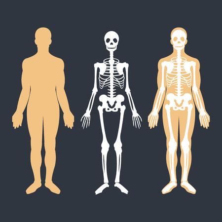 skeletal system: Human body and skeletal system flat illustrations set. Body silhouette, skeleton and bones inside body