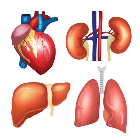órganos humanos realistas fijados. Corazón, los pulmones, los riñones, el hígado. ilustración vectorial de primera calidad