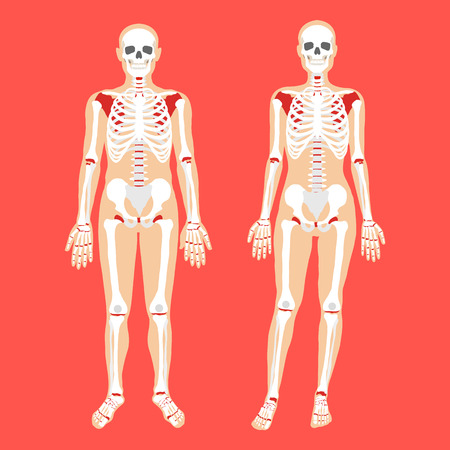 vertebrae view: Human anatomy and skeletal system. Female and male bodies and skeletons. Modern concepts. Flat style design vector illustration