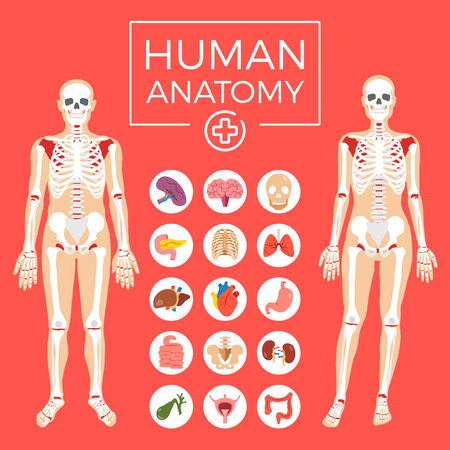 인체 해부학. 남자와 여자의 몸, 골격 시스템, 내부 장기 아이콘이 설정합니다. 평면 그래픽 디자인 요소를 설정합니다.