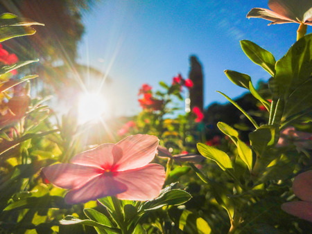 Garden with pink flowers and green leaves lit by the sun rays Imagens