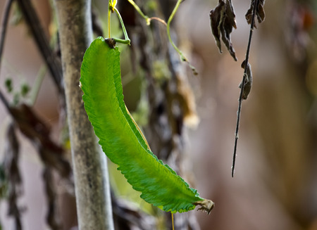 winged: Winged bean