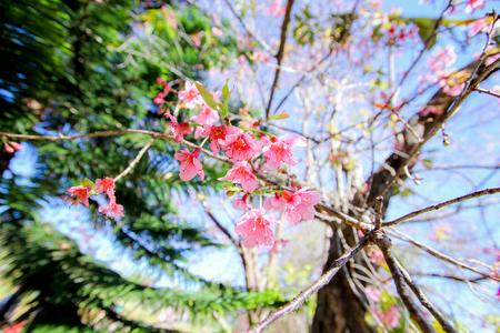 himalayan: Wild Himalayan Cherry