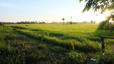 champ de mais: champ de maïs avec le coucher du soleil