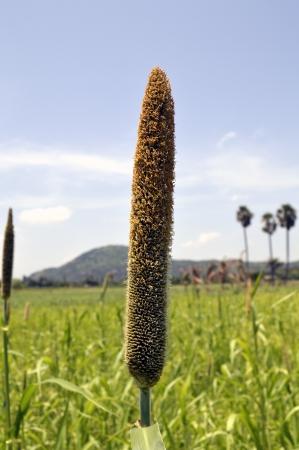 PEARL MILLET PENNISETUM의 TYPHOIDEUM의 곡물 스톡 사진