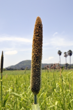 PEARL MILLET PENNISETUM TYPHOIDEUM GRAIN Stock Photo - 15829071