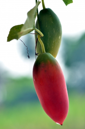 Tindora   Coccinia grandis   Ivy Gourd Isolated  Stock Photo
