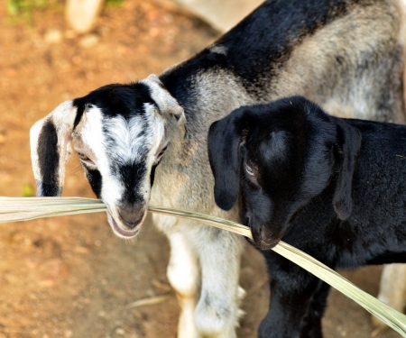 Portrait of young baby goats eating Stock Photo