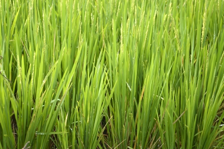 Rice Plants in paddy field