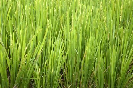 bali province: Rice Plants in paddy field