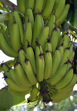 Green banana Plaintain
