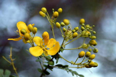 Cassia auriculata - floral background