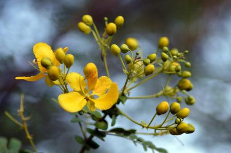 Cassia auriculata - floral background