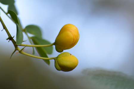 Cassia auriculata - Avarampoo Buds 스톡 사진