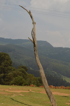 Single old and dead tree isolated on nature background