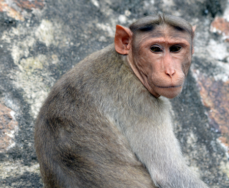 Monkey posing in Tiruvannamalai, India,